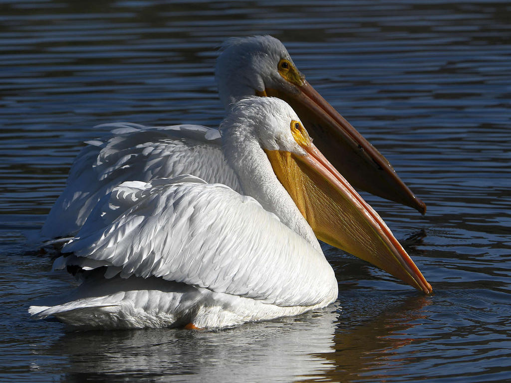 Post your birds (2)-pelican.jpg