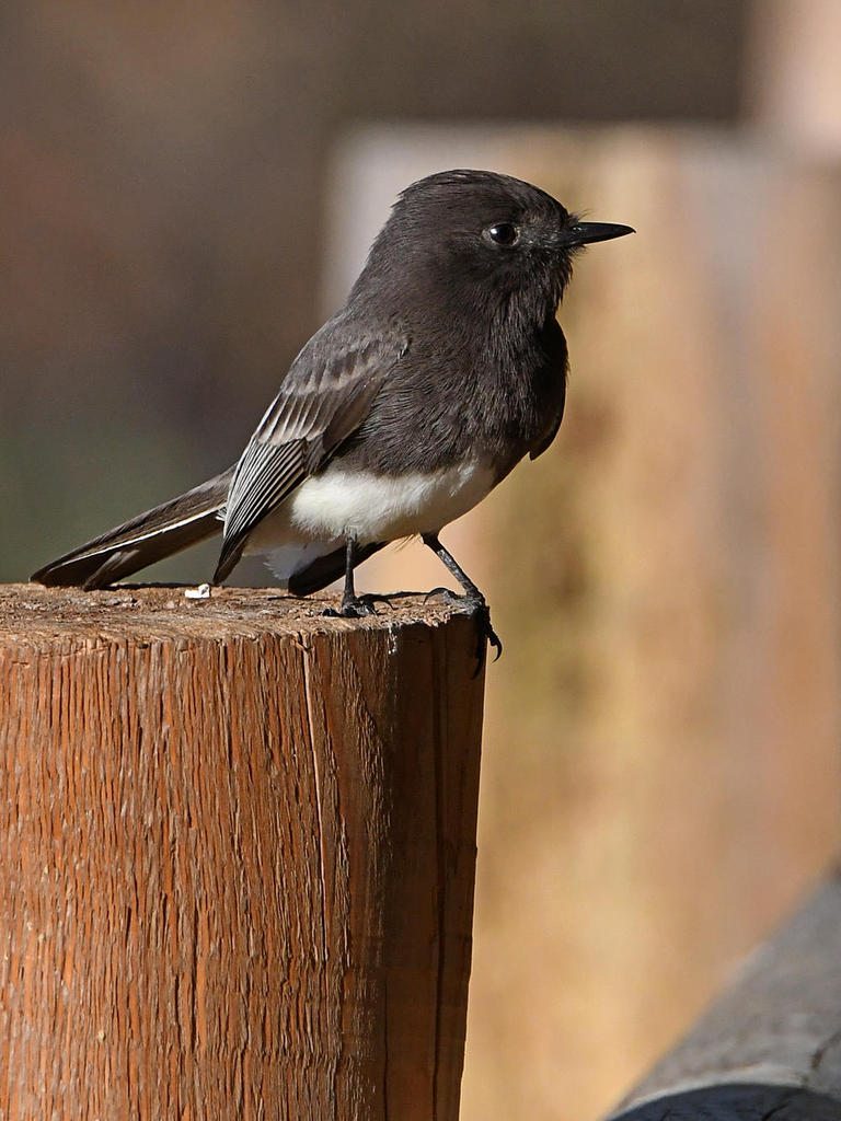 Post your birds (2)-phoebe.jpg