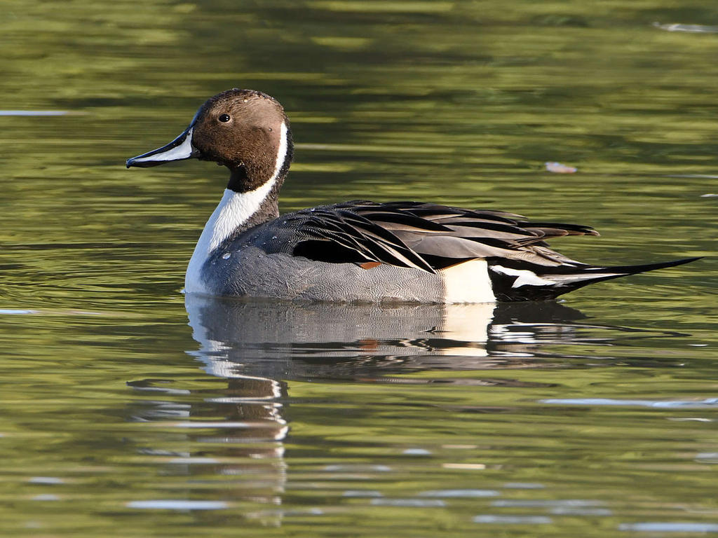 Post your birds (2)-pintail3.jpg