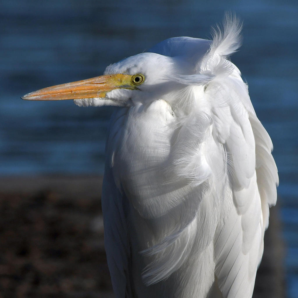 Post your birds (2)-egret4.jpg