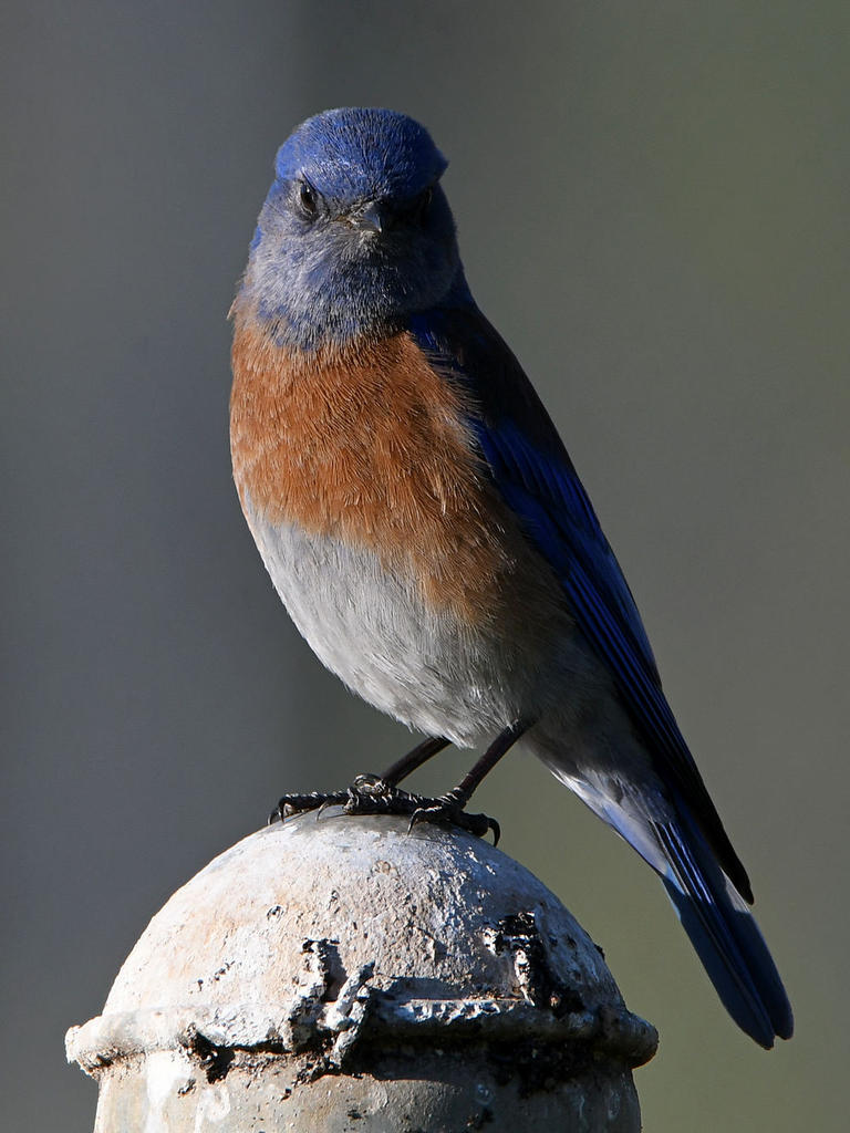 Post your birds (2)-bluebird2.jpg
