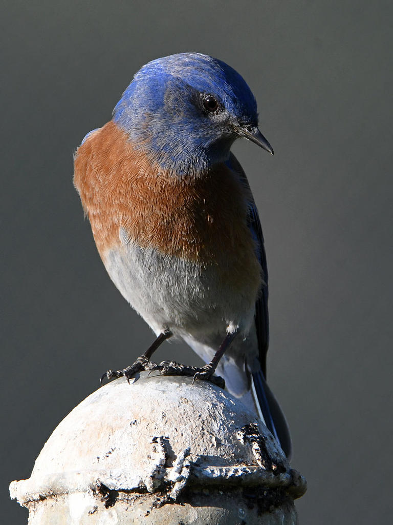 Post your birds (2)-bluebird8.jpg