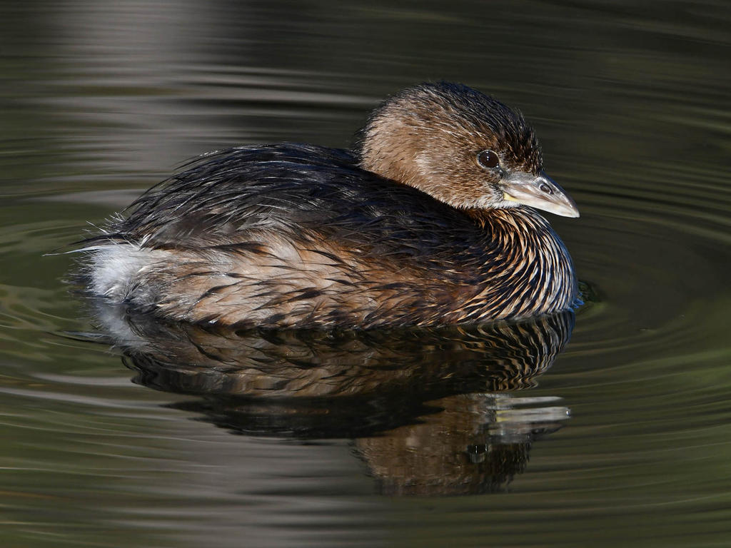 Post your birds (2)-grebe3.jpg