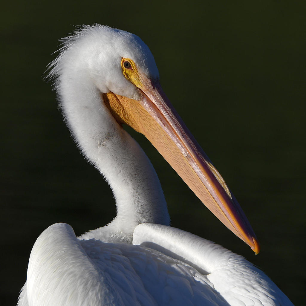 Post your birds (2)-pelican8.jpg