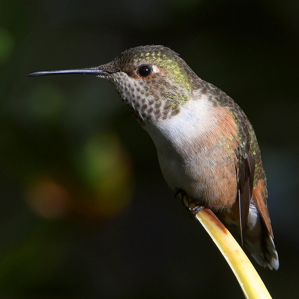 Post your birds (2)-hummer3.jpg