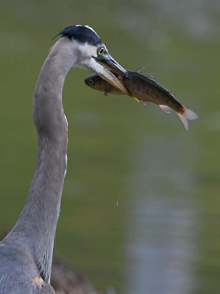 Post your birds (2)-blueheron3.jpg