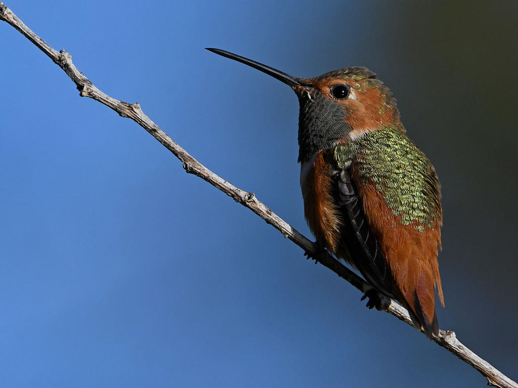 Post your birds (2)-hummer4.jpg