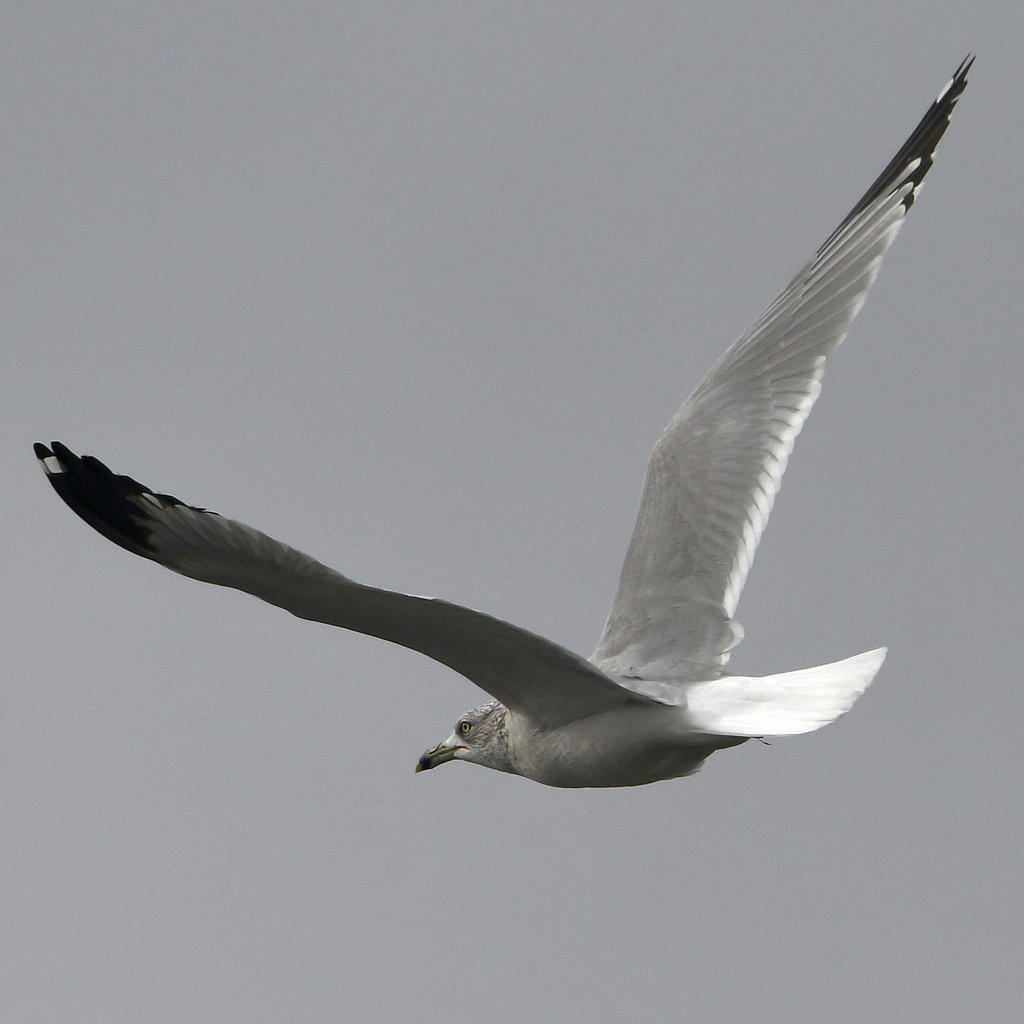Post your Birds in Flight-gull.jpg