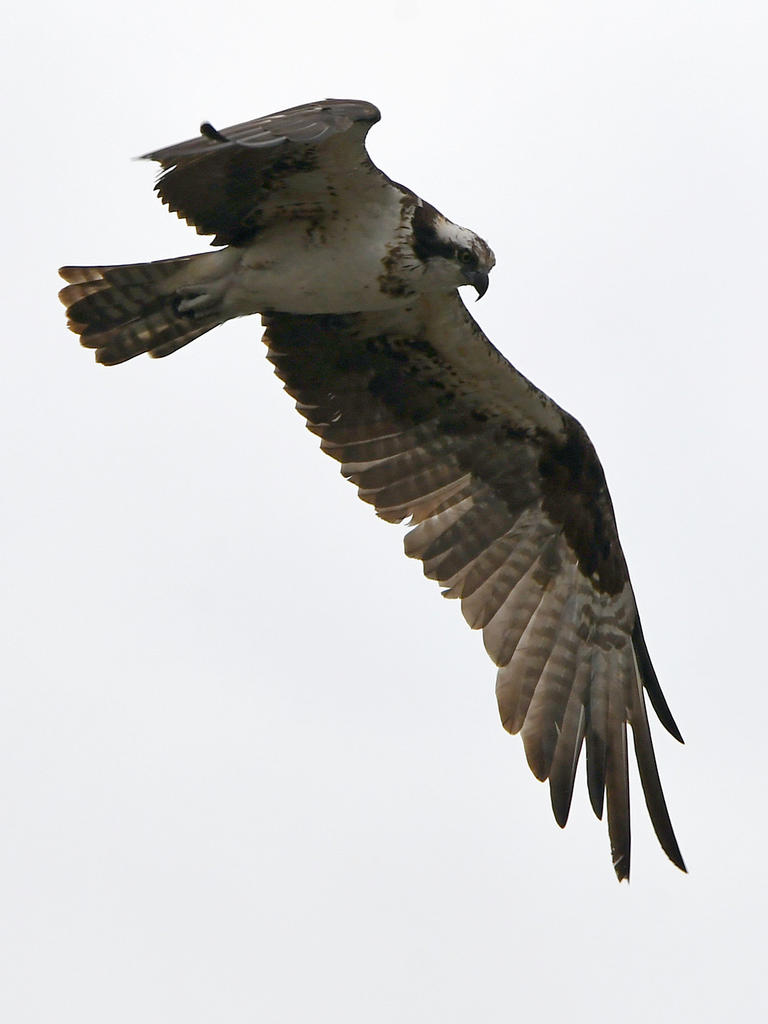 Post your Birds in Flight-osprey11.jpg