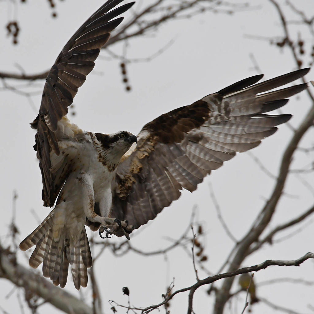 Post your Birds in Flight-osprey21.jpg