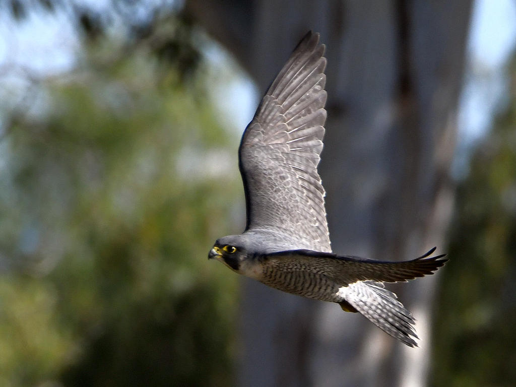 Post your Birds in Flight-falcon5.jpg