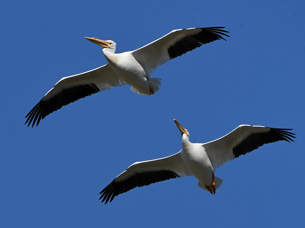 Post your Birds in Flight-pelican3.jpg