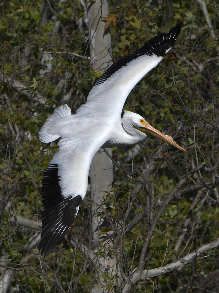 Post your Birds in Flight-pelican9.jpg