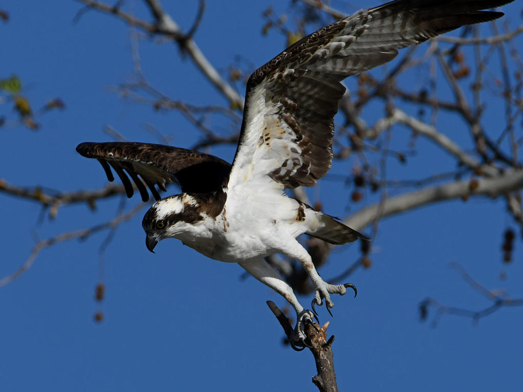 Post your Raptors-osprey2.jpg