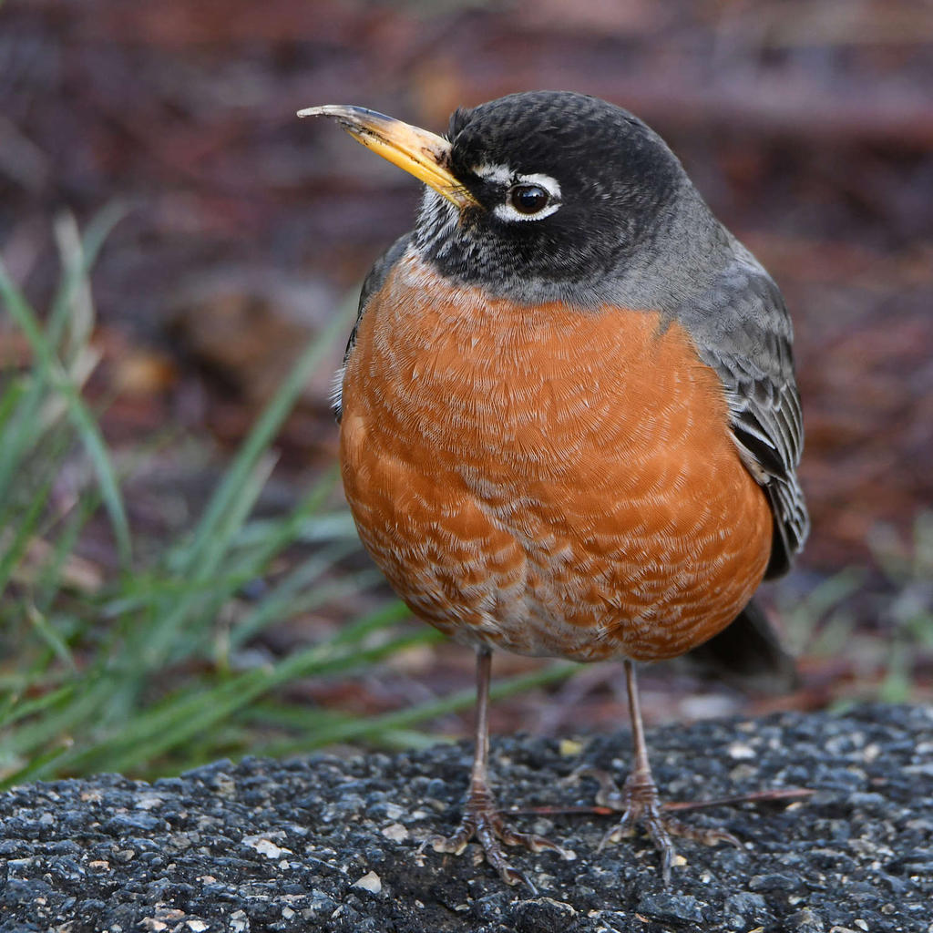 Post your birds (2)-robin12.jpg