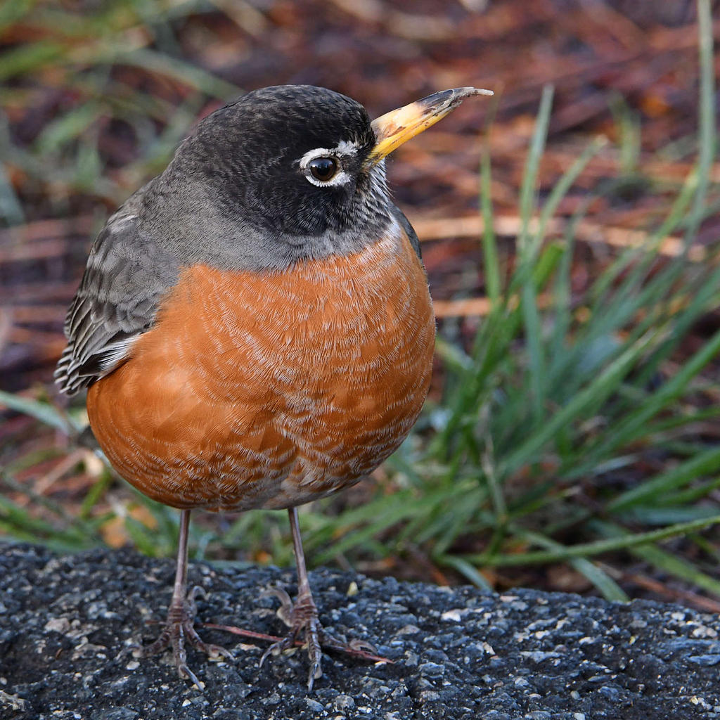 Post your birds (2)-robin13.jpg