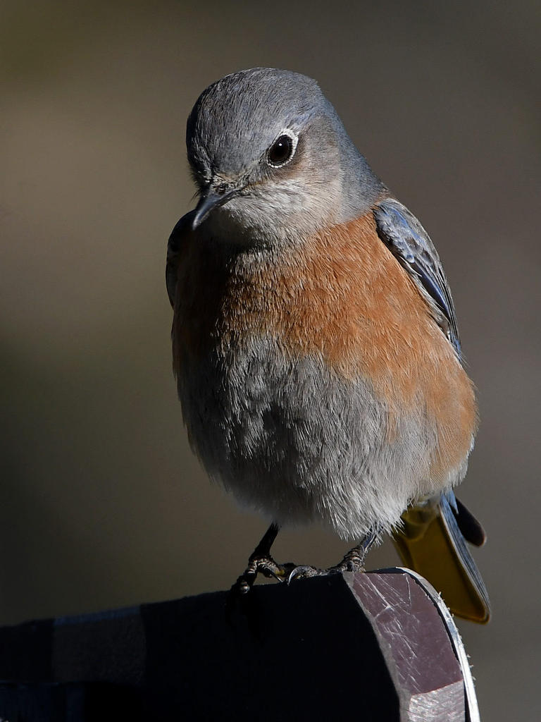 Post your birds (2)-bluebird5.jpg