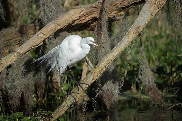 Whiskeyman's March 2021 Wildlife Photo Chase-early-plumage-egret-1.jpg