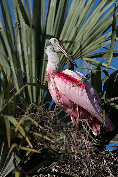 Whiskeyman's March 2021 Wildlife Photo Chase-roseate-spoonbill-1.jpg
