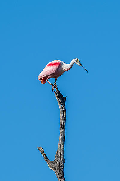 Whiskeyman's March 2021 Wildlife Photo Chase-roseate-spoonbill-4.jpg
