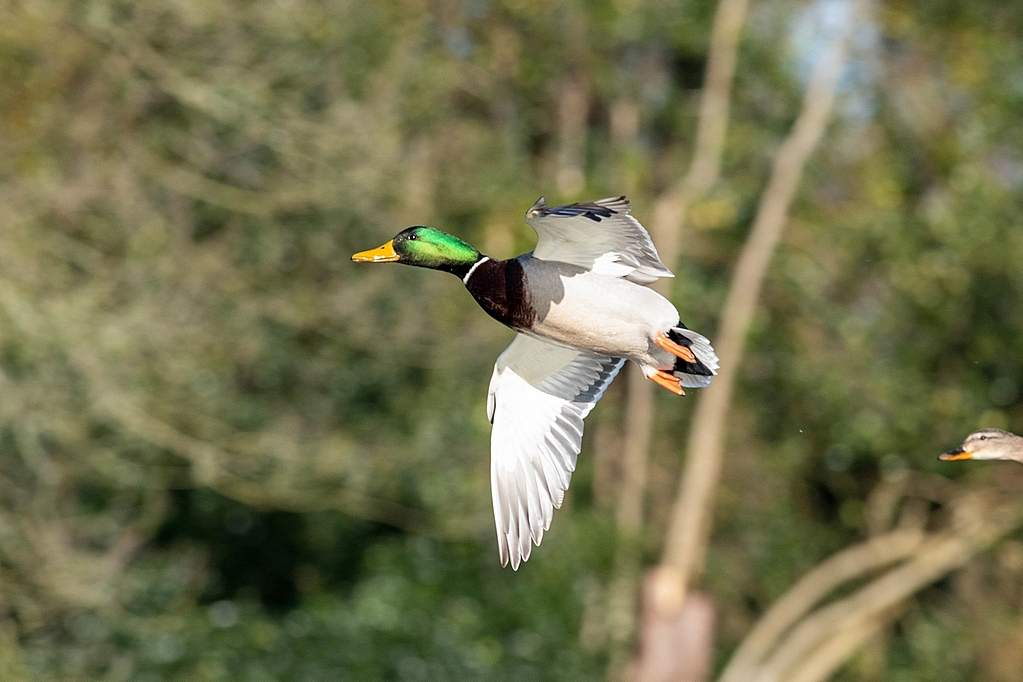 Post your Birds in Flight-bif6.jpg