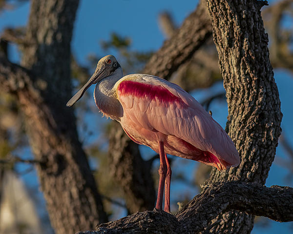 Whiskeyman's March 2021 Wildlife Photo Chase-perched-roseate-spoonbill-7.jpg