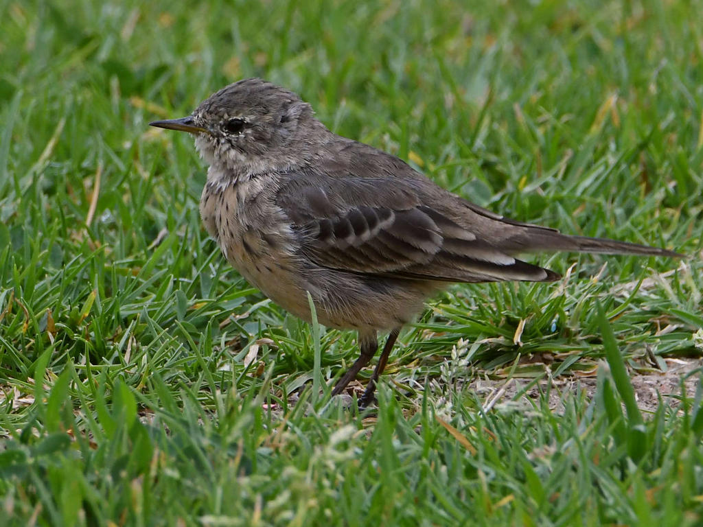Can you help ID this bird please?-unknown5.jpg