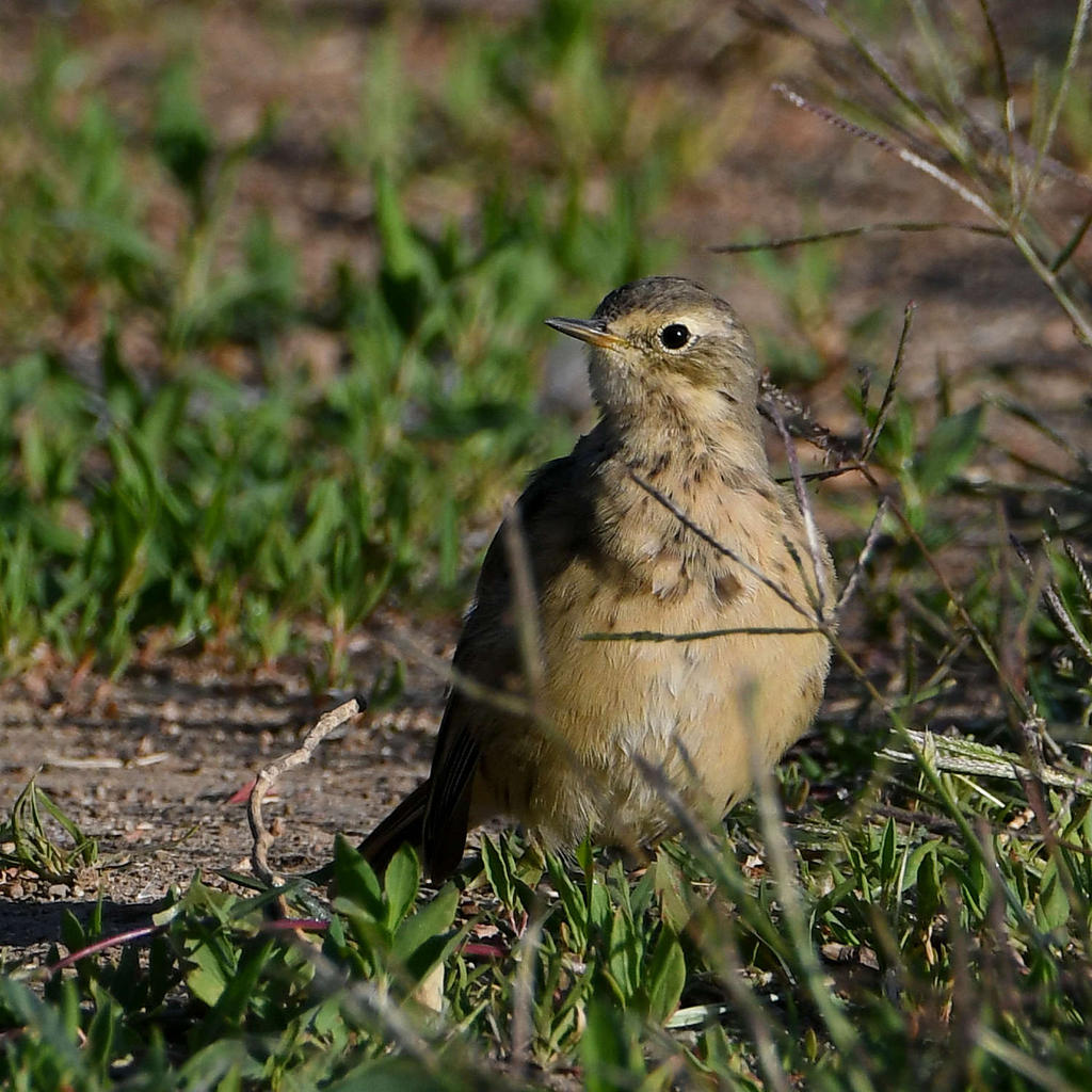 Post your birds (2)-pipit.jpg