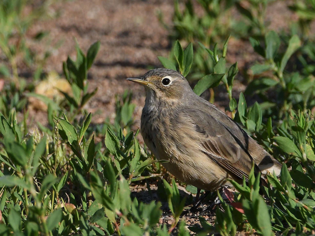 Post your birds (2)-pipit4.jpg