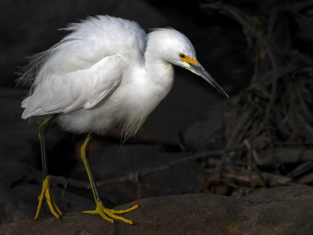 Post your birds (2)-egret13.jpg