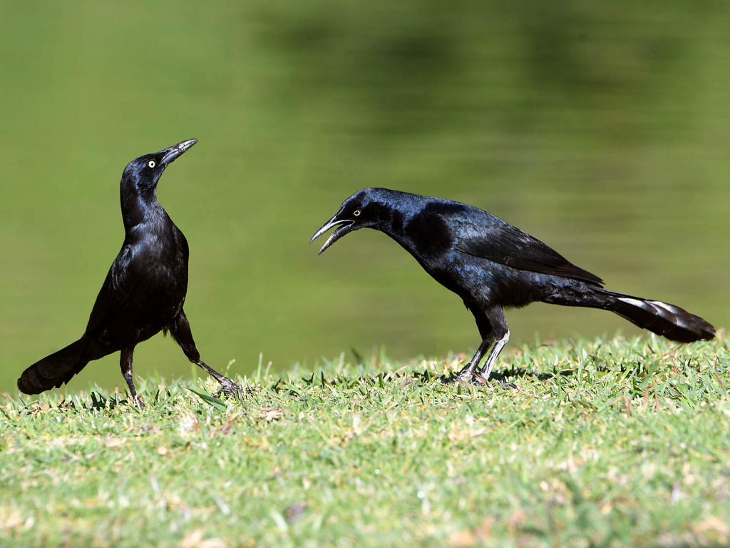 Post your birds (2)-grackle2.jpg