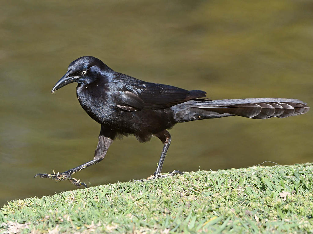 Post your birds (2)-grackle7.jpg