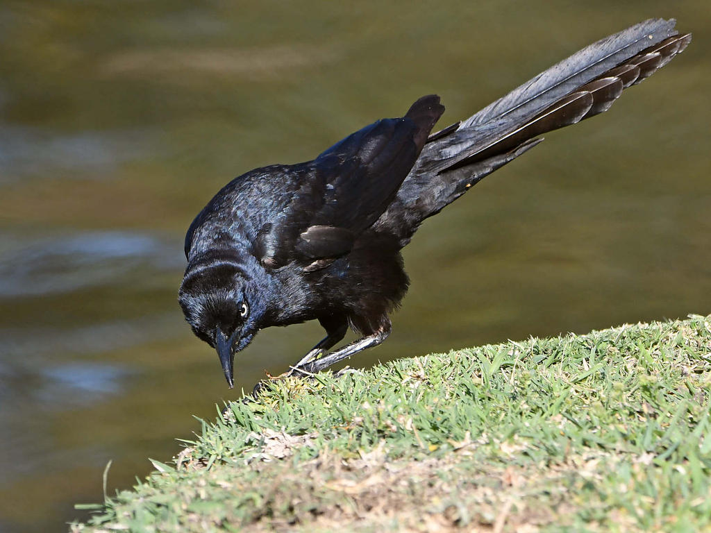 Post your birds (2)-grackle10.jpg