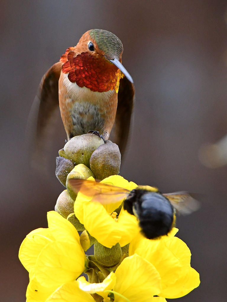 Post your Hummingbird Photos-hummer2.jpg