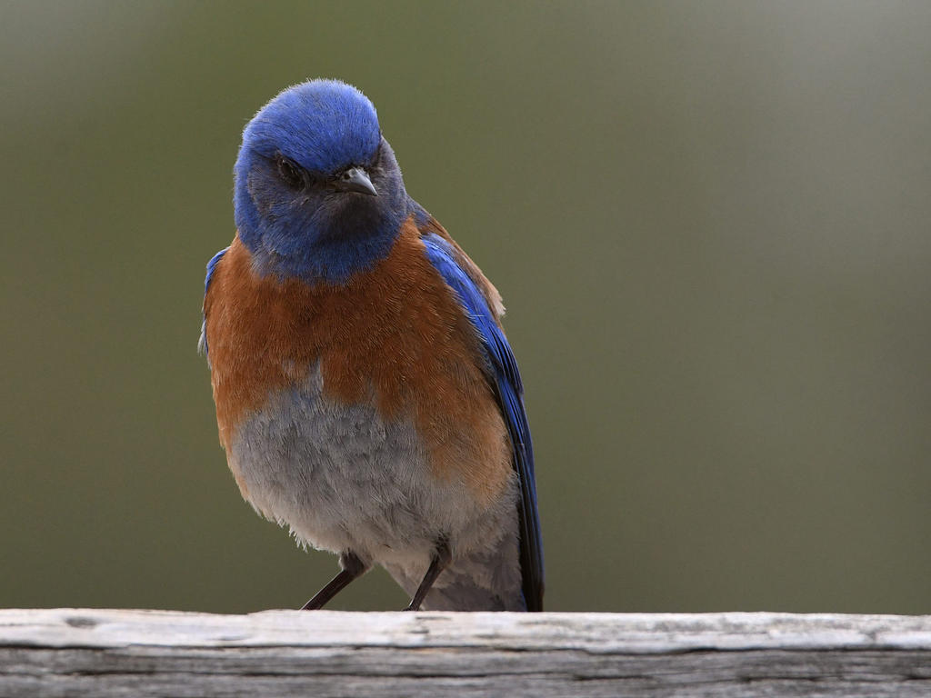 Post your birds (2)-bluebird3.jpg
