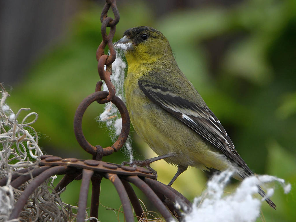 Post your birds (2)-goldfinch2.jpg