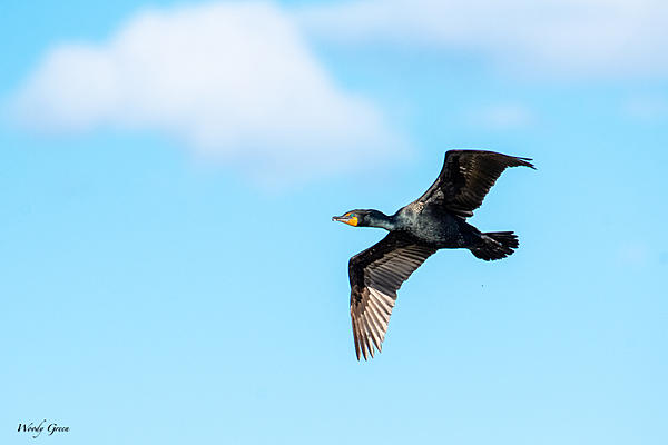 Post your Birds in Flight-cormorantflight-824.jpg