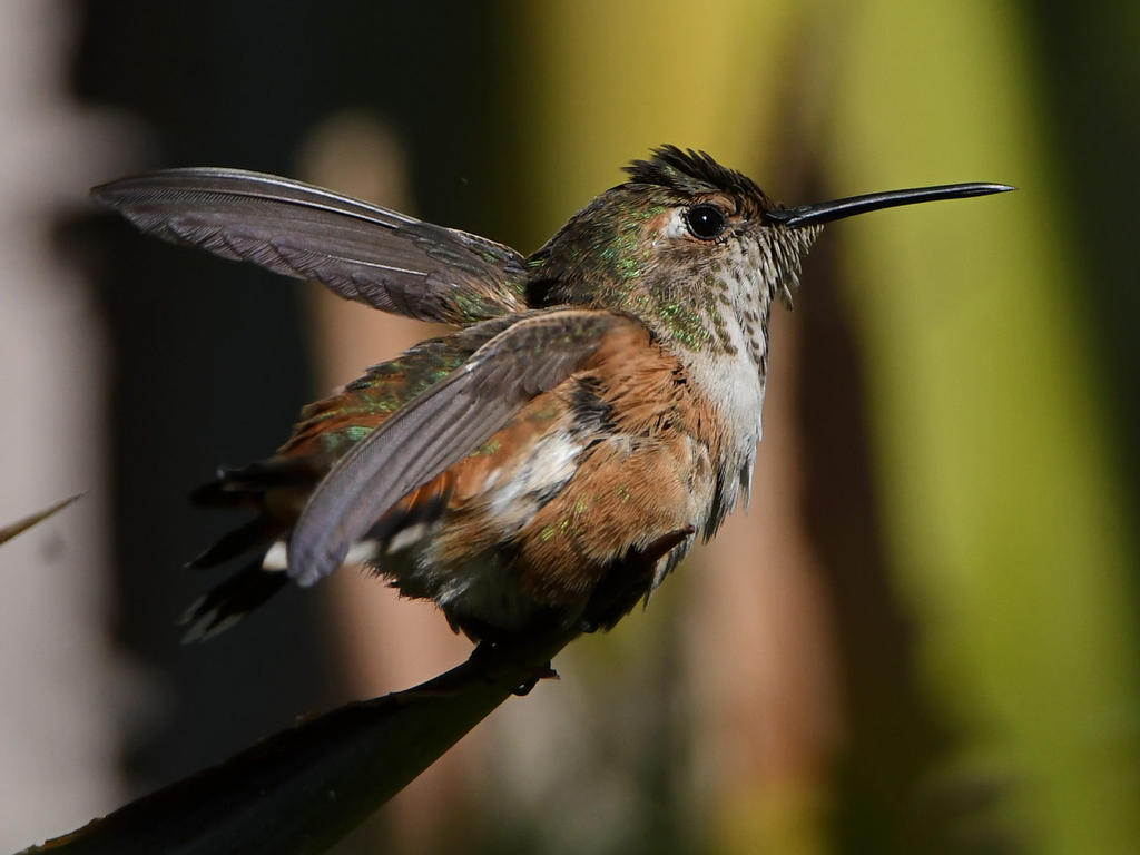 Post your Hummingbird Photos-hummer12.jpg