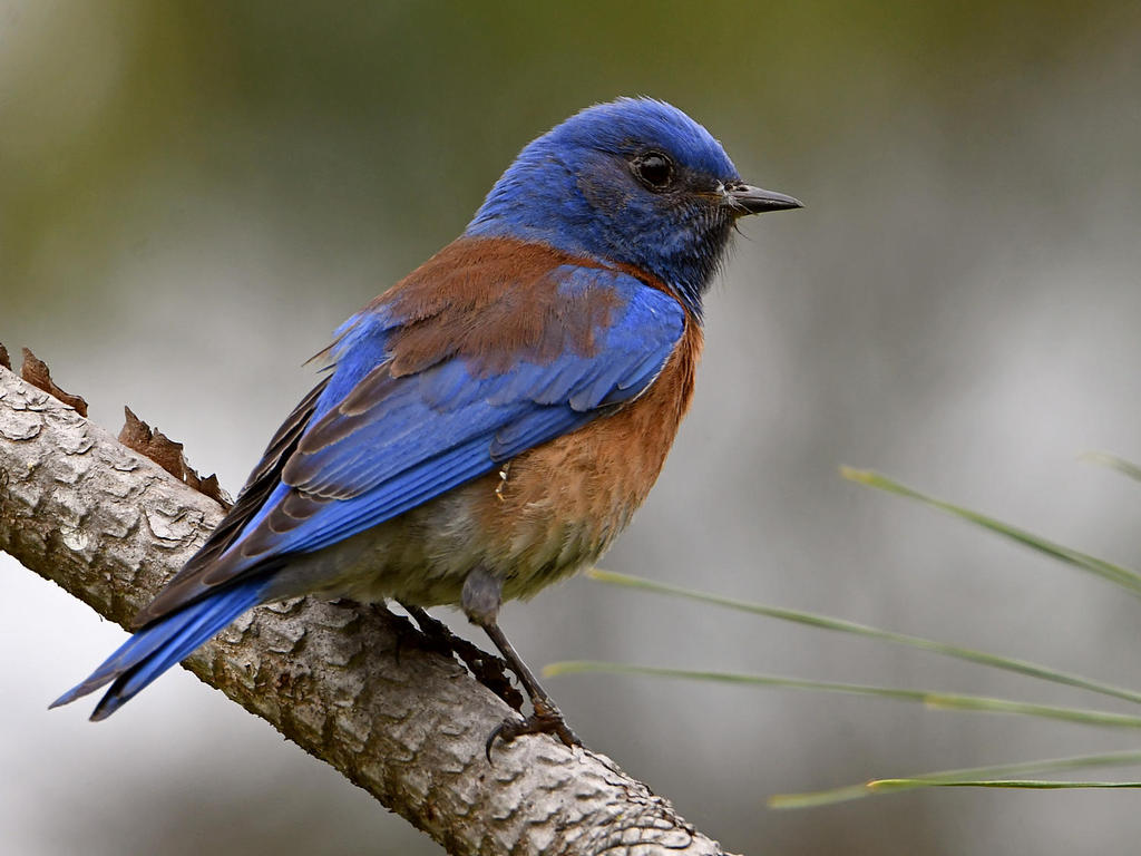 Post your birds (2)-bluebird.jpg