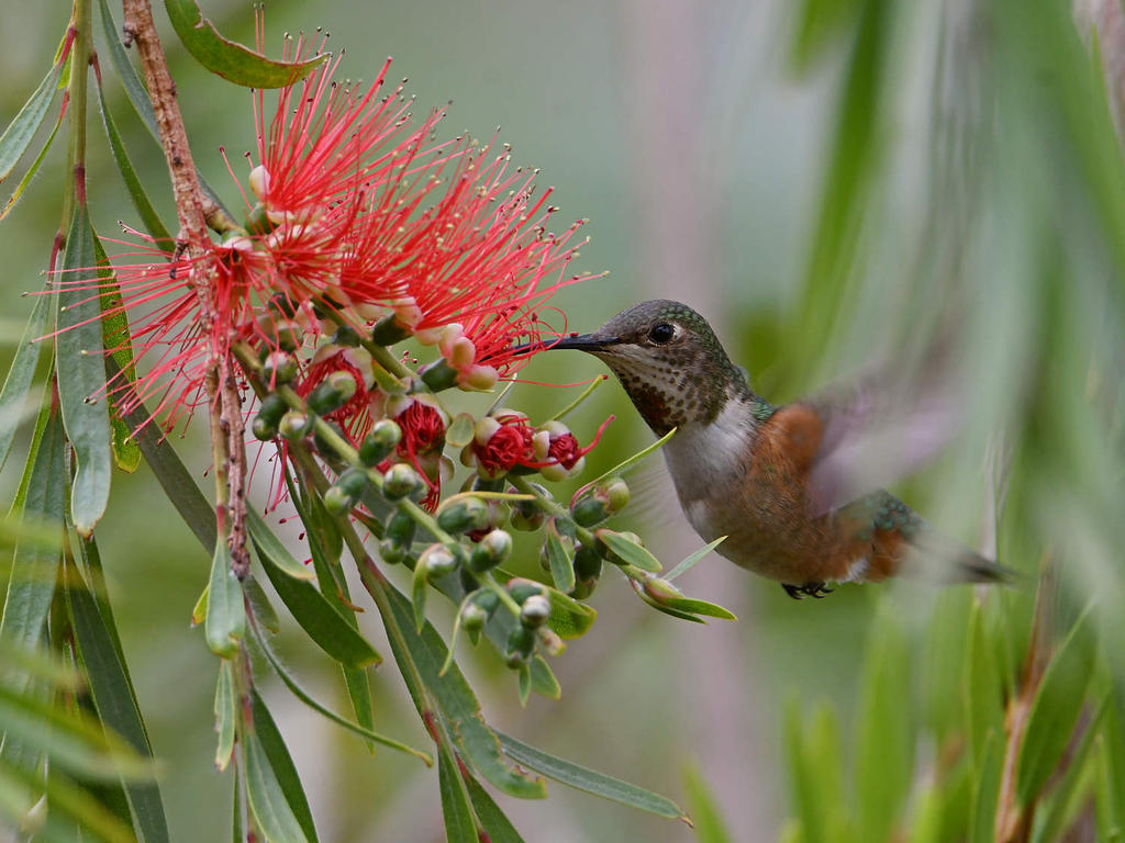 Post your Hummingbird Photos-hummer.jpg