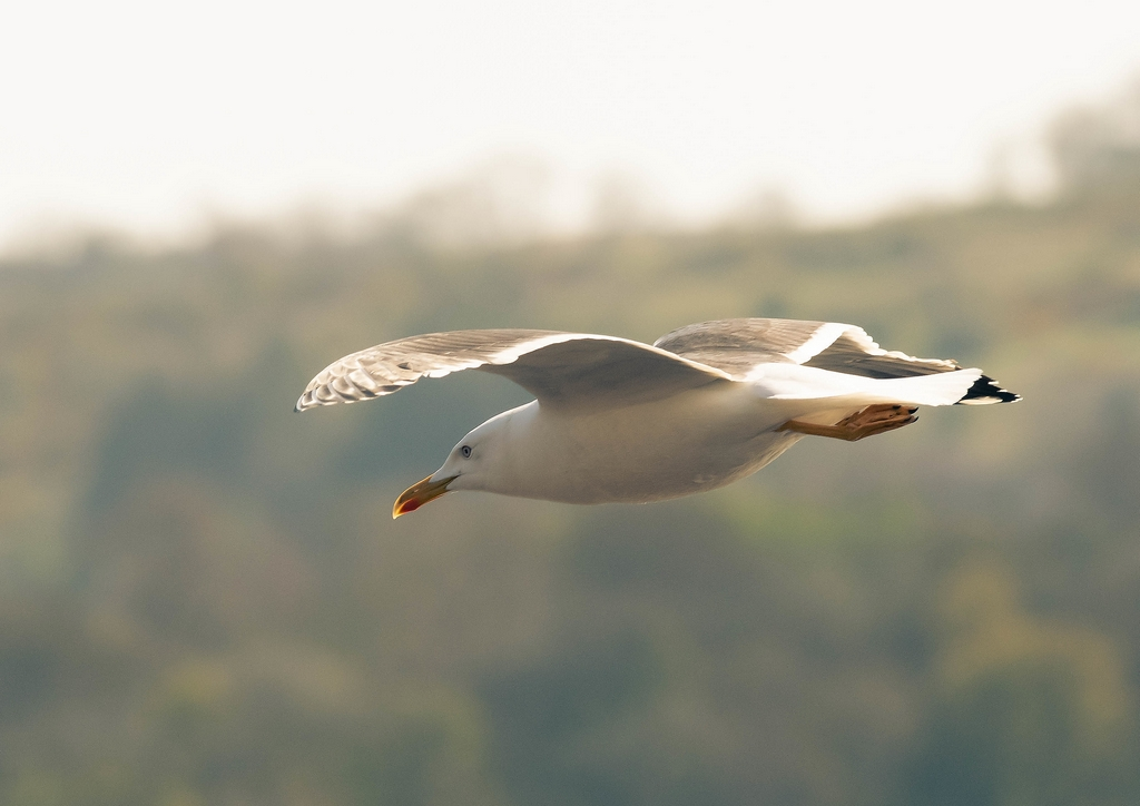 Post your Birds in Flight-cs4.jpg
