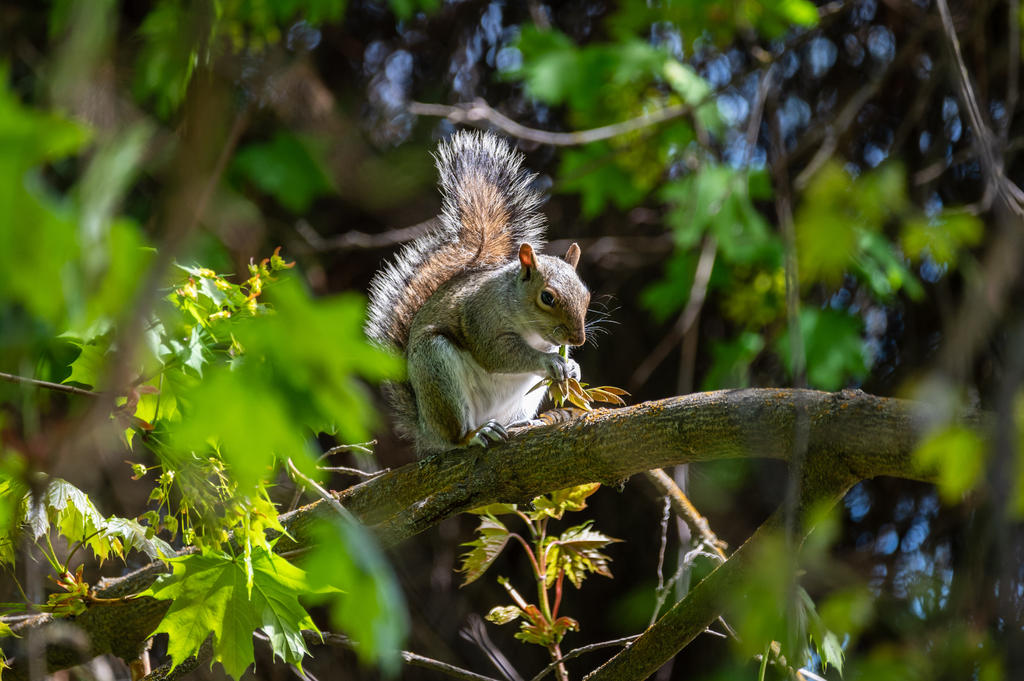 Post your Squirrel pictures-dsc_0370.jpg