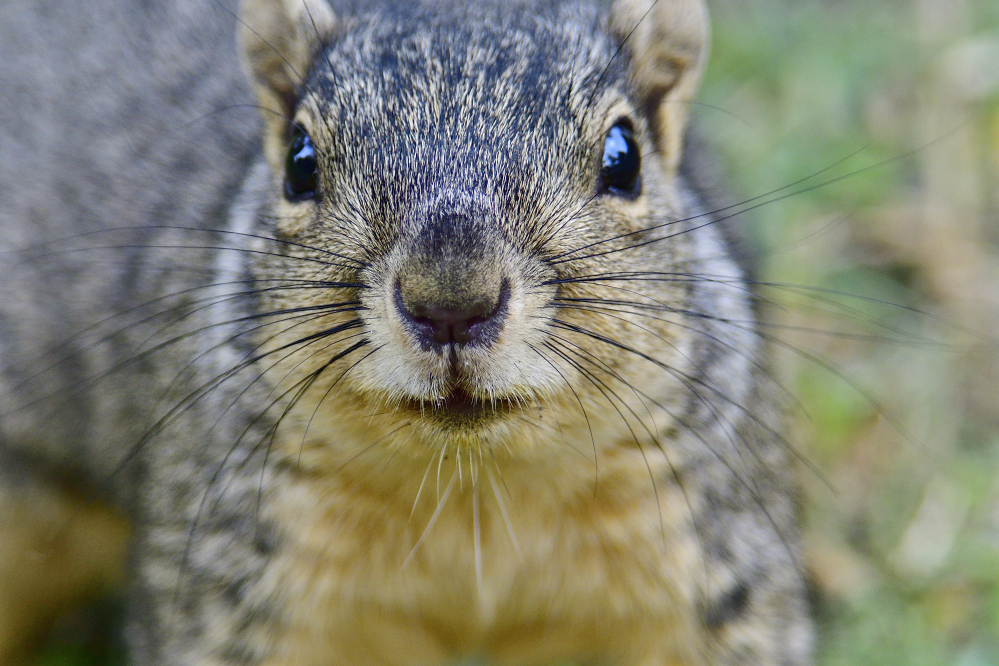 Post your Squirrel pictures-_roy1284.jpg