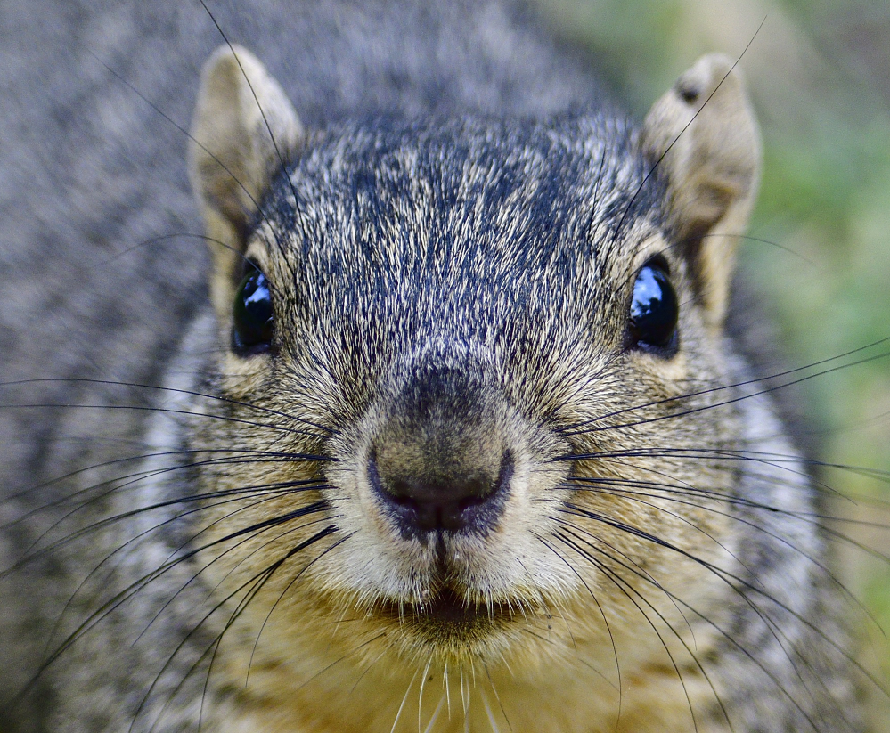 Post your Squirrel pictures-_roy1287.jpg