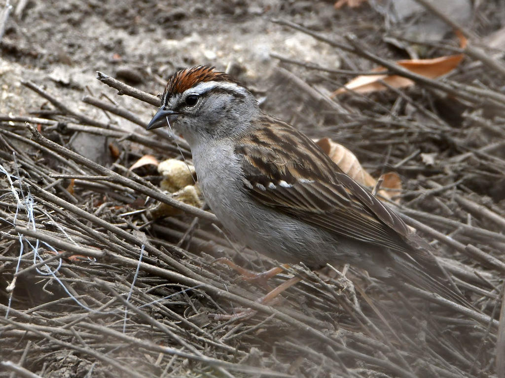 Post your birds (2)-chipping.jpg