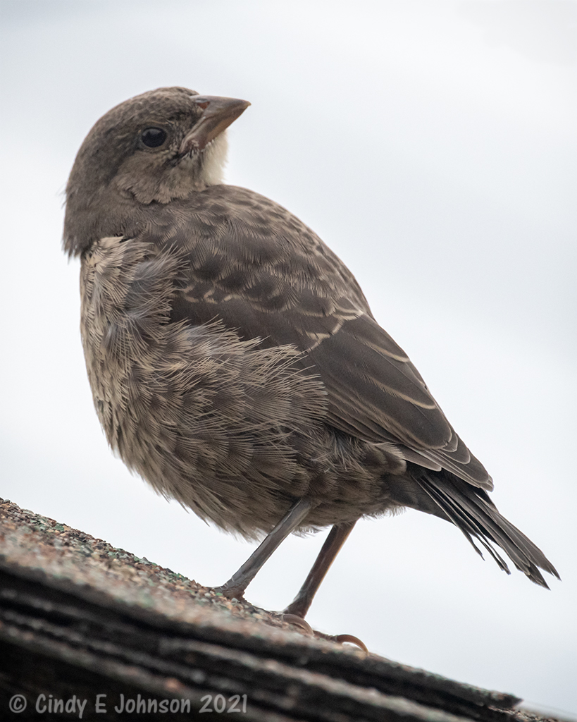 Can you help ID this bird please?-_5dx4576-low-res.jpg