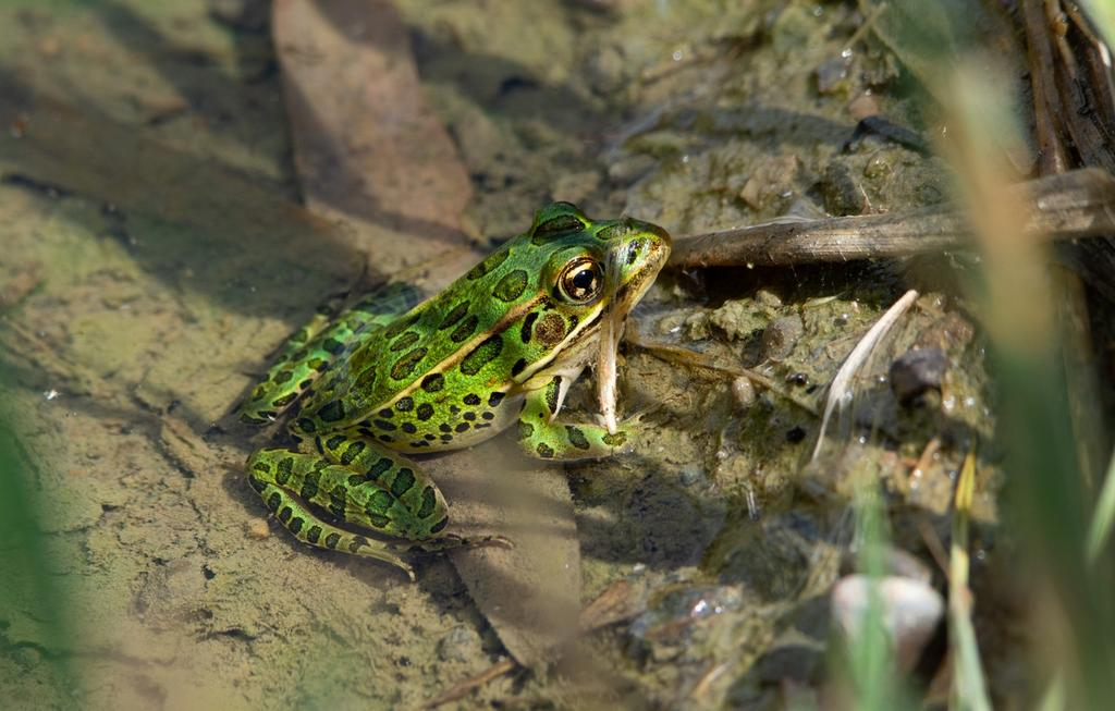 Post  your Frogs, Toads and Amphibians!-dsc_2723.jpg