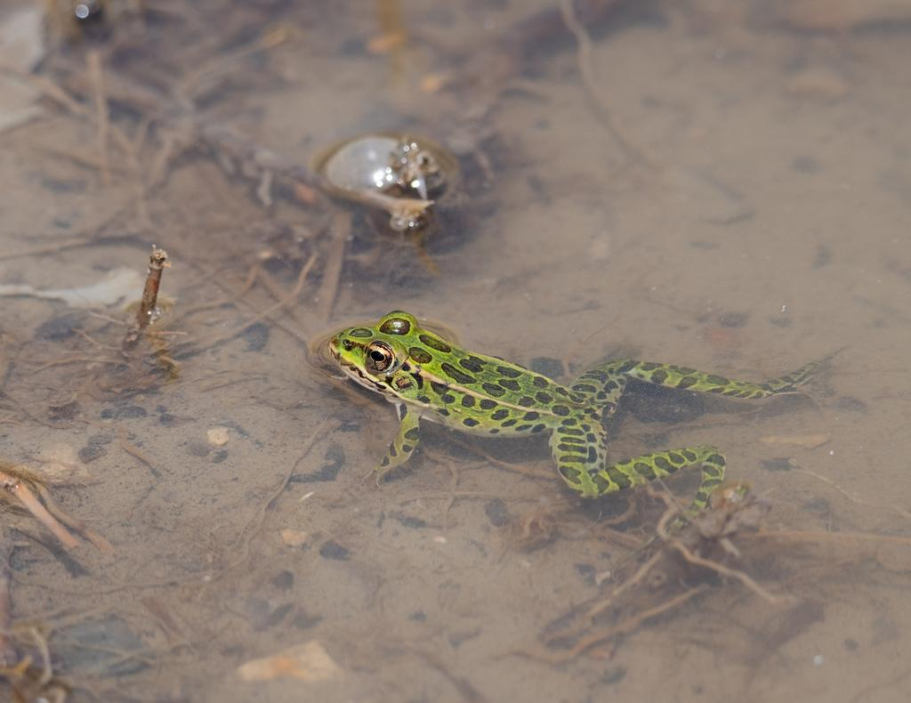 Post  your Frogs, Toads and Amphibians!-dsc_1913.jpg