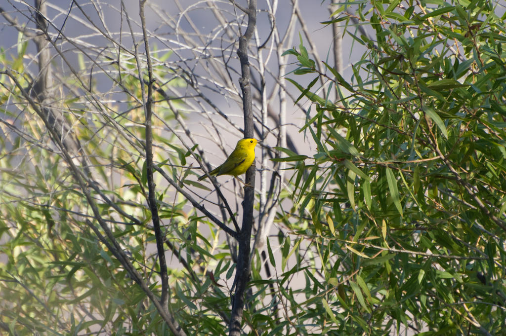 Can you help ID this bird please?-yellow-warbler-maybe-n-500_6742.jpg