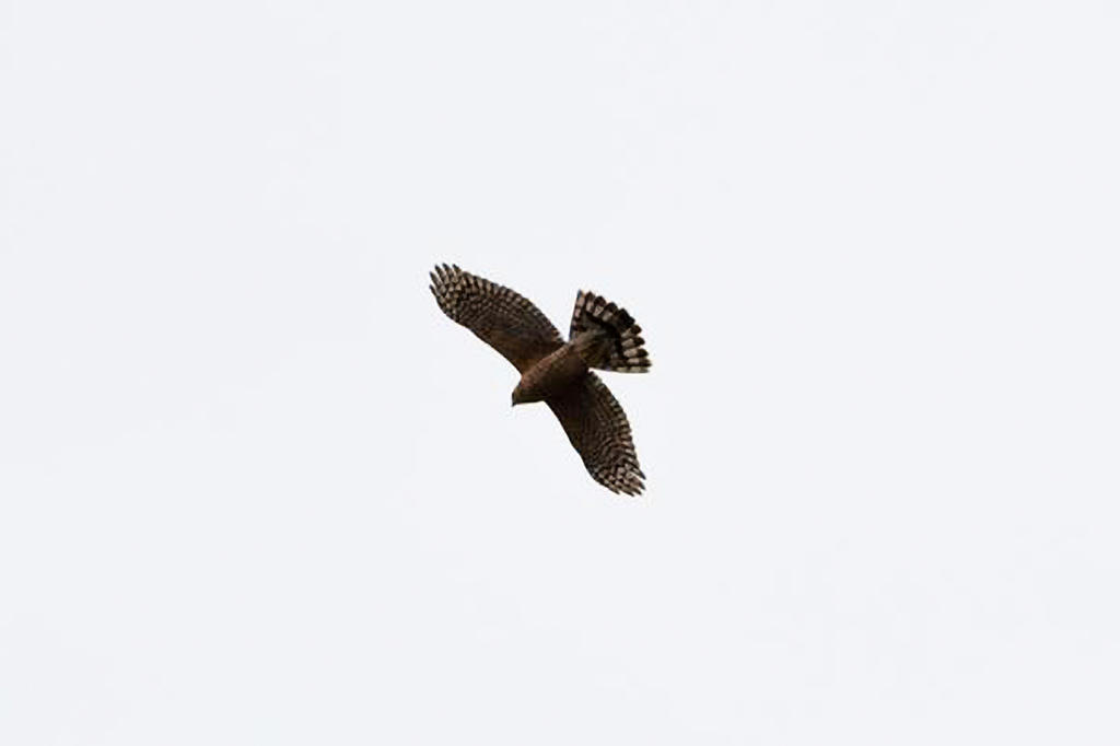 Can you help ID this bird please?-lucien-1-copy.jpg